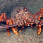 Crayfish Moult